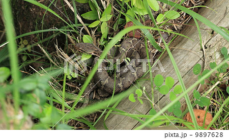 生き物 爬虫類 ちょっと危険な体勢のニホンマムシ... 生き物 爬虫類 ちょっと危険な体勢のニホ