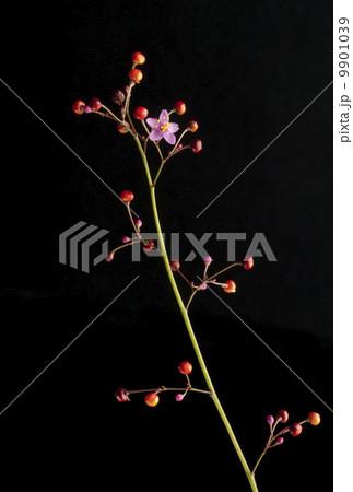 ハゼランの画像 p1_30