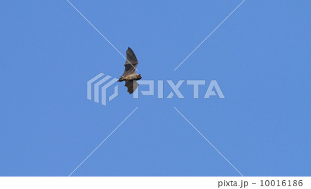 アブラコウモリの画像 p1_35