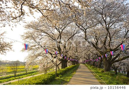 照片 桜の并木道