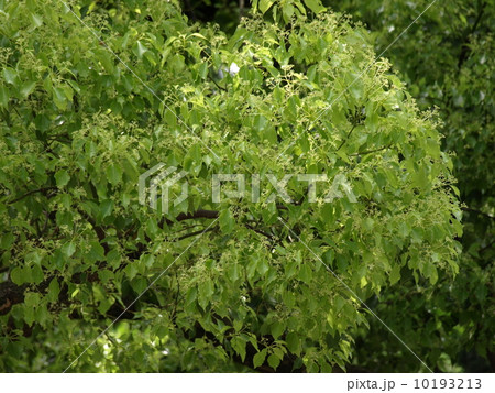 クスノキの画像 p1_10