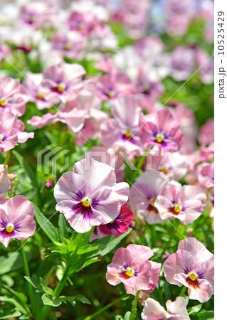 ビオラ (植物)の画像 p1_22