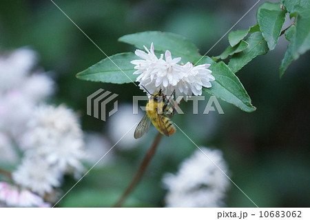 更纱空木と小丸花蜂 10683062