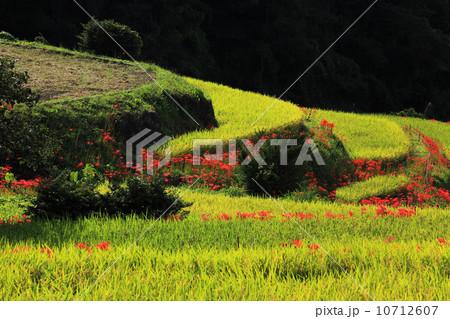 一簇孤挺花 梯田 稻田-图片素材 [10712607] - pixta