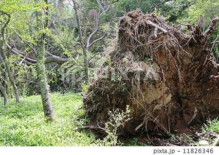 大胆な倒木 11826346 大胆な倒木の写真素材 [11826346] - PIXTA