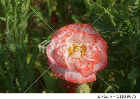 ヒナゲシの画像 p1_8