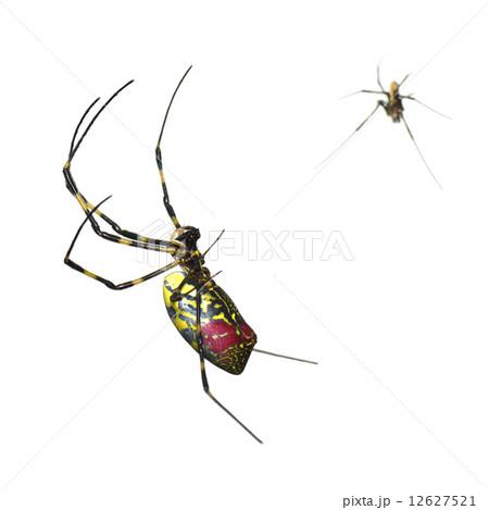 ジョロウグモの画像 p1_9