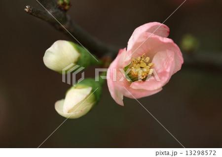 ボケ (植物)の画像 p1_17