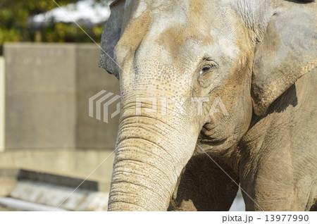 アジアゾウの画像 p1_11