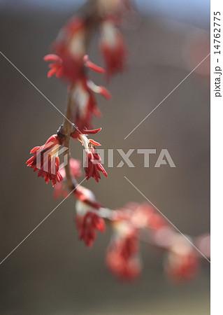 カツラ (植物)の画像 p1_14