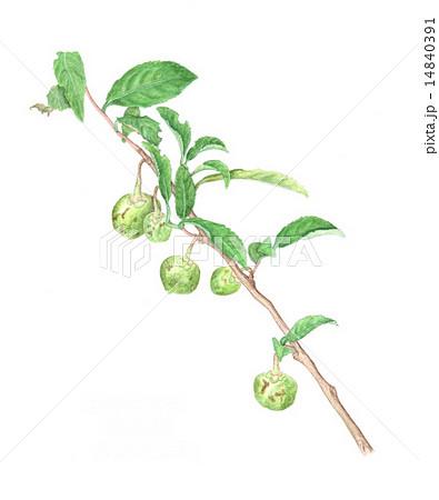 チャノキ(茶の木)の実(水彩画) 1484039... チャノキ(茶の木)の実(水彩画)のイラス