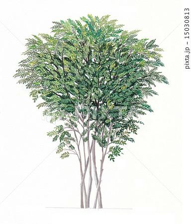 シマトネリコの画像 p1_33