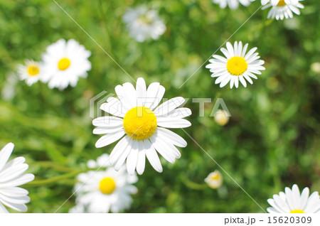 マーガレット (植物)の画像 p1_25