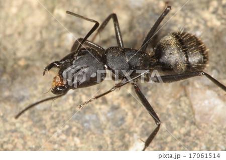 クロオオアリの画像 p1_29