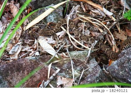 ニホンマムシの画像 p1_29