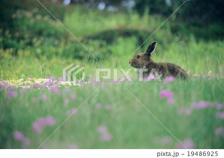 ユキウサギの画像 p1_10