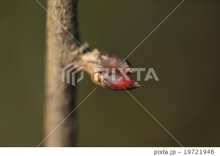 フジ (植物)の画像 p1_21