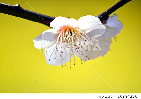 ウメの画像 p1_20