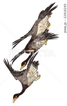 雁の画像 p1_8
