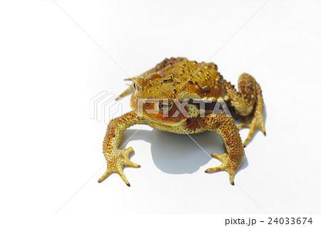 ニホンヒキガエルの画像 p1_25