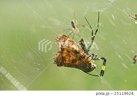 ジョロウグモの画像 p1_13