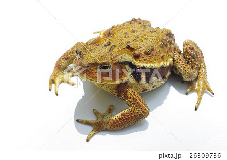 ニホンヒキガエルの画像 p1_3