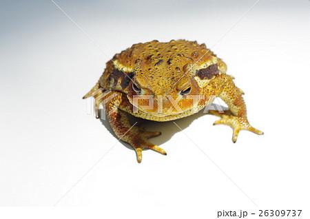 ニホンヒキガエルの画像 p1_27