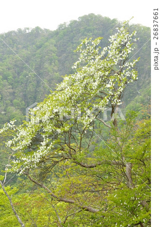 シロヤシオの画像 p1_39