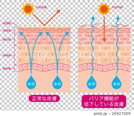 图库插图: 结构 剖面图 皮肤干燥