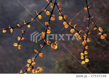 カツラ (植物)の画像 p1_12