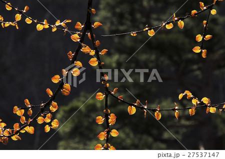 カツラ (植物)の画像 p1_16