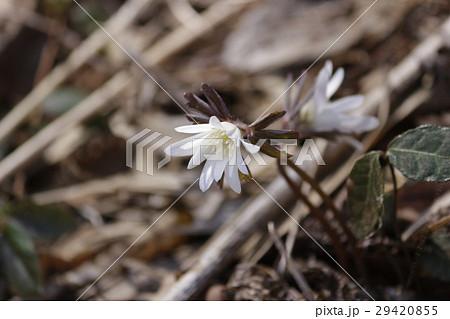 アズマイチゲの画像 p1_12