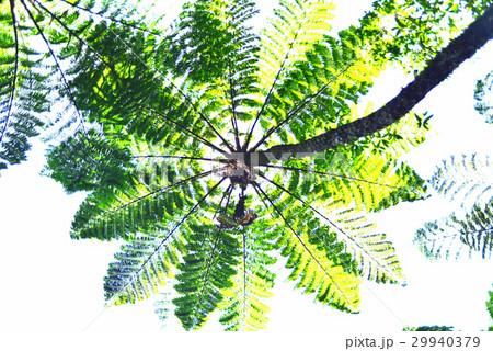 ヒカゲヘゴの画像 p1_11