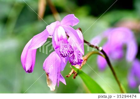 シラン (植物)の画像 p1_30