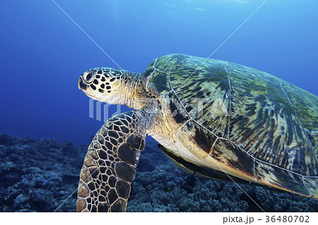 アオウミガメの画像 p1_38