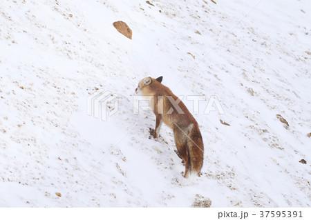 アカギツネの画像 p1_31