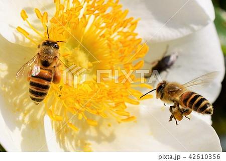 ミツバチの画像 p1_31