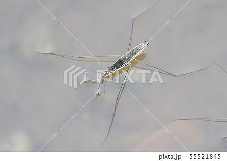 アメンボの画像 p1_30