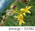 ゆりの花。 33382