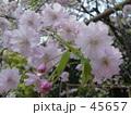 春、さくら 45657