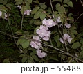 夜桜 55488