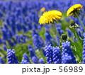 たんぽぽ 56989