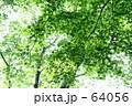 夏モミジ 64056