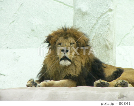 ♂ ライオン 80841