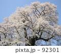 醍醐桜 92301