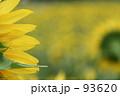 恋ひまわり 93620