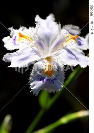 シャガの花 99036