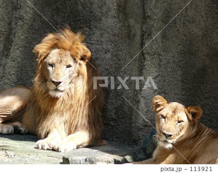 ライオン夫婦 113921