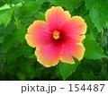 ハイビスカス 154487