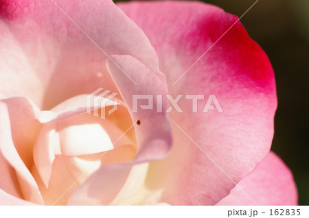 赤ピンクの薔薇 162835